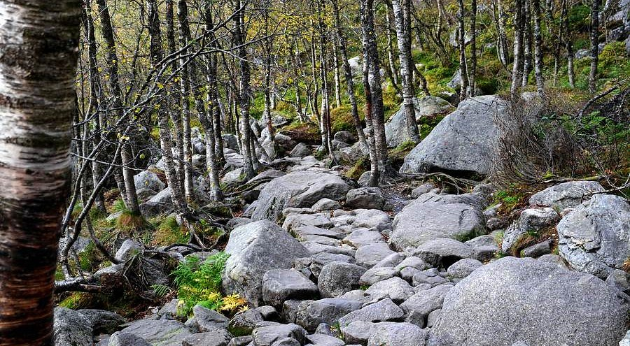 A rocky path through a birch wood