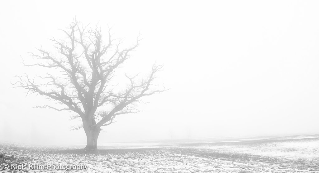 naked oak tree in the haze